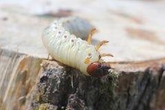 La larva del puede escarabajo Fotografía de archivo libre de regalías