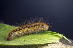 La larva del trattore a cingoli Fotografie Stock