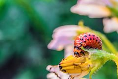 La larva della dorifora della patata mangia il fiore della patata Immagine Stock