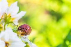 La larva della dorifora della patata mangia il fiore della patata bianca Fotografia Stock