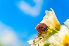 La larva della dorifora della patata mangia il fiore della patata bianca su un fondo del cielo blu Immagine Stock