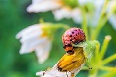 La larva della dorifora della patata mangia il fiore della patata Primo piano del parassita di insetto del giardino Fotografie Stock