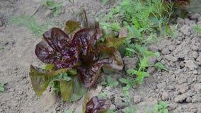 La larva della mano diserba l'insalata video d archivio