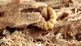 La larva dello scarabeo rinoceronte o dell'oryctes rhinoceros della noce di cocco è noce di cocco e palma pericolose del parassit video d archivio