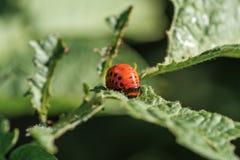 La larve du scarabée de pomme de terre du Colorado Photo stock
