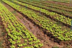 La lattuga è una pianta annuale dell'asteraceae della famiglia della margherita È Immagini Stock Libere da Diritti