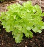La lattuga o il Lactuca verde sativa nella verdura organica traccia Immagine Stock Libera da Diritti