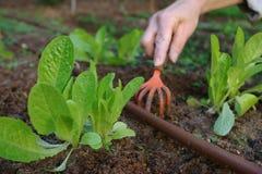 La lattuga pianta la coltura in un giardino domestico Immagini Stock Libere da Diritti