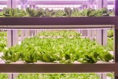 La lattuga romana si sviluppa con l'agricoltura dell'interno leggera principale dell'azienda agricola immagini stock libere da diritti