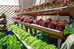 La lattuga rossa e la lattuga verde alla coltura idroponica di coltivazione coltivano Immagini Stock
