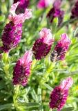 La lavanda con rosa de color de malva fragante delicado estrió las flores adentro temprano Imagenes de archivo