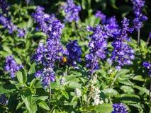 La lavanda en jardín y la avispa recogen el néctar de la flor Imagen de archivo libre de regalías