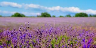 La lavanda fine fiorisce la pianta e la fioritura sul fondo vago della natura, insegna per il sito Web Immagini Stock Libere da Diritti