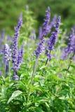 La lavanda fiorisce la fioritura in un campo durante l'estate Fotografia Stock Libera da Diritti