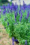 La lavanda fiorisce la fioritura in un campo durante l'estate Fotografia Stock