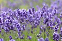 La lavanda florece la floración en el jardín, campo hermoso de la lavanda Imagen de archivo libre de regalías
