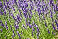 La lavanda púrpura floreció el fondo en luz del día Imagenes de archivo