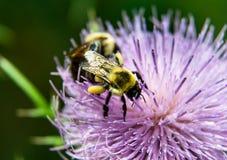La lavanda y el cardo púrpura florecen y manosean el ` s de la abeja Foto de archivo