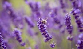 La lavanda y los insectos se cierran encima de demonios de las flores del verano de la naturaleza Fotografía de archivo