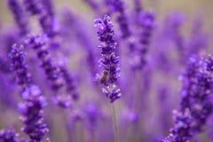 La lavanda y los insectos se cierran encima de demonios de las flores del verano de la naturaleza Fotos de archivo