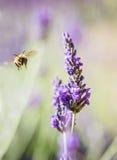La lavanda y manosea la abeja Foto de archivo
