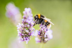 La lavanda y manosea la abeja Fotos de archivo