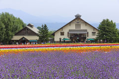 La lavande et les gisements de fleur colorés de Tomita cultivent, Furano, Hokk Image libre de droits