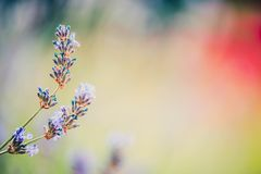 La lavande fine fleurit le fond brouillé de jardin ou de parc photos stock