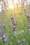 La lavande fleurit avec un matin d'abeilles où le vent souffle Photos libres de droits