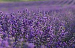 La lavande fleurit la floraison sur le champ pendant l'été Images libres de droits