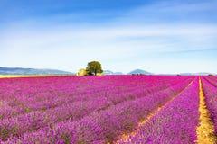 La lavande fleurit le champ, la maison et l'arbre de floraison La Provence, franc Photos stock
