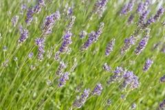 La lavande fleurit le Lavandula dans un matin ensoleillé images libres de droits