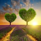 La lavande met en place avec des arbres sous forme de coeur au coucher du soleil Images libres de droits