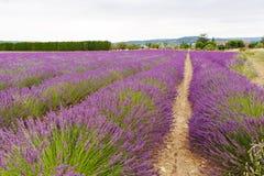 La lavande met en place près de Valensole en Provence, France Photo libre de droits
