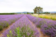 La lavande met en place près de Valensole en Provence, France Photo stock