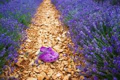 La lavande met en place près de Valensole en Provence, France Images libres de droits
