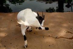 La leccatura della capra possiede la gamba Fotografia Stock Libera da Diritti