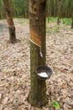 La leche del árbol de goma fluye en un tazón de fuente de madera Fotografía de archivo libre de regalías