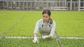 La lechuga creciente de la ensalada de la industria agrícola en mujer del campo trabaja almacen de video