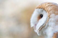 La lechuza com?n, Tyto alba, retrato del primer fotografía de archivo libre de regalías