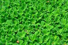 La lente dell'acqua o della lemma, sta fiorendo le piante acquatiche che galleggiano sopra immagine stock