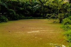 La lenteja de agua en la charca sucede en jardín de la palma Fotografía de archivo