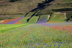 La lenticchia che fiorisce in Castelluccio di Norcia Migliaia di colori Immagine Stock