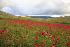 La lenticchia che fiorisce in Castelluccio di Norcia Migliaia di colori Fotografia Stock