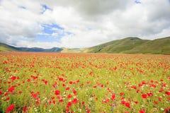 La lenticchia che fiorisce in Castelluccio di Norcia Migliaia di colori Fotografie Stock Libere da Diritti