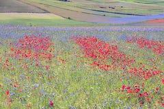 La lenticchia che fiorisce in Castelluccio di Norcia Migliaia di colori Immagini Stock Libere da Diritti