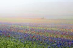 La lenticchia che fiorisce in Castelluccio di Norcia Migliaia di colori Fotografia Stock Libera da Diritti