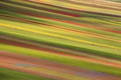La lentille fleurissant en Castelluccio di Norcia Milliers de couleurs Photographie stock libre de droits