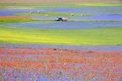 La lentille fleurissant en Castelluccio di Norcia Milliers de couleurs Image stock