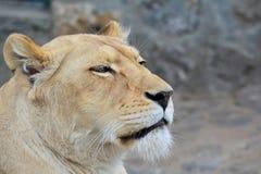 La leona acaba de despertar Imágenes de archivo libres de regalías